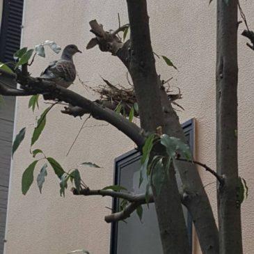 【キジバトの巣が剪定した木から出てきました、その巣の中に。。。】